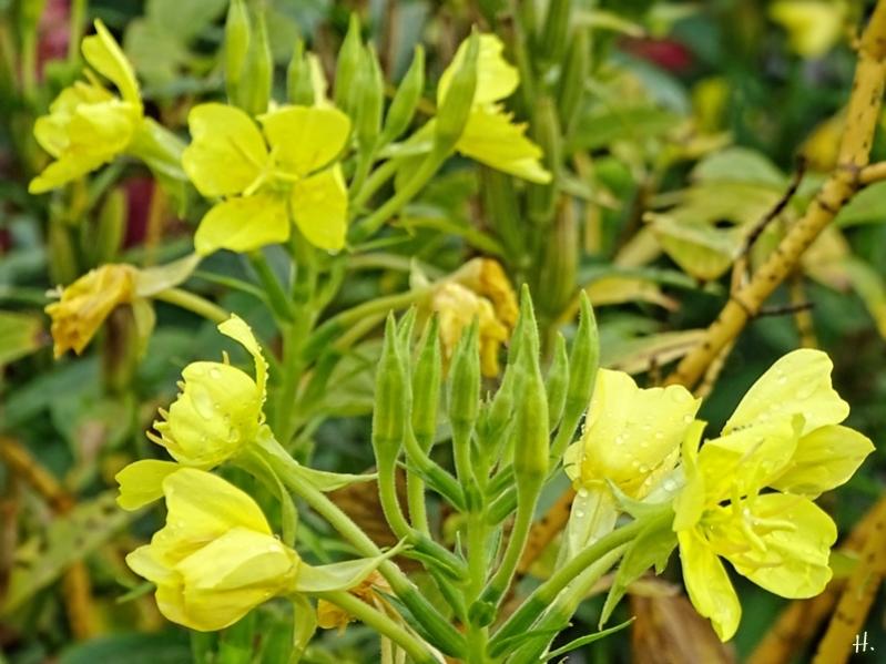 2020-09-25 LüchowSss Garten Gewöhnliche Nachtkerzen (Oenothera biennis) + Gelbholz- bzw. Seiden-Hartriegel (Cornus sericea) nach Regen