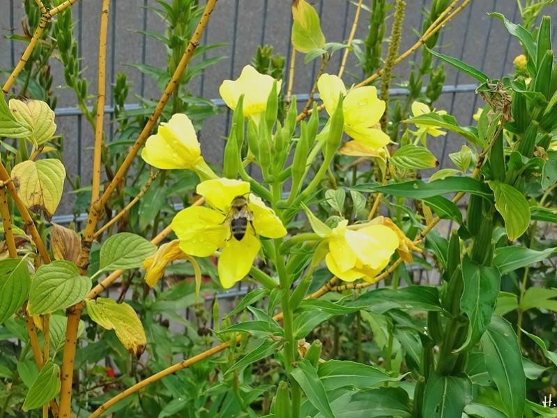 2020-09-25 LüchowSss Garten Gewöhnliche Nachtkerzen (Oenothera biennis) + Gelbholz- bzw. Seiden-Hartriegel (Cornus sericea) nach Regen + Honigbiene (Apis mellifera)