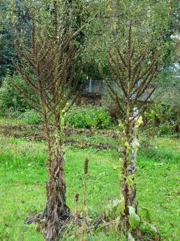 Kandelaber-Königskerzen (Verbascum olympicum) -Gruppe
