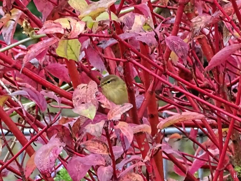 2020-09-25 LüchowSss Garten Roter Hartriegel +Zilpzalp bzw. Weidenlaubsänger (Phylloscopus collybita)