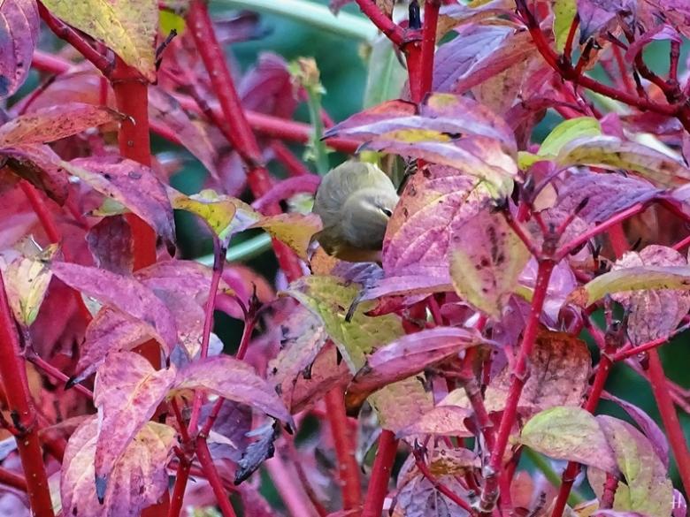 2020-09-25 LüchowSss Garten Roter Hartriegel + Zilpzalp bzw. Weidenlaubsänger (Phylloscopus collybita)