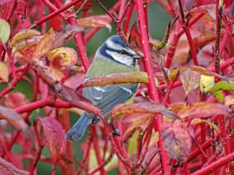 2020-09-25 LüchowSss Garten Sibirischen bzw. Rotholz- bzw. Purpur-Hartriegel (Cornus alba) 'Sibirica' + Blaumeise (Cyanistes caeruleus)