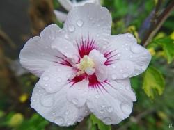 2020-09-26 LüchowSss Garten Garteneibisch (Hibiscus syriacus) Chiffon-Sorte 'China Chiffon Bricutt'