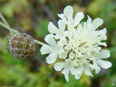 Gelb-Skabiose (Scabiosa ochroleuca)