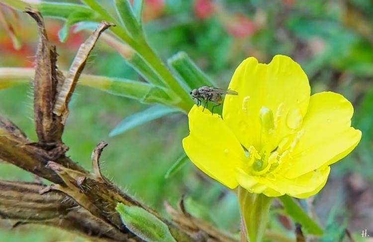 2020-09-26 LüchowSss Garten Gewöhnliche Nachtkerze (Oenothera biennis) + Fliege