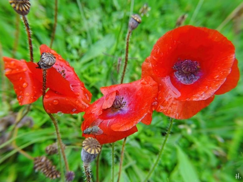 2020-09-26 LüchowSss Garten Klatschmohn (Papaver rhoeas) (1)