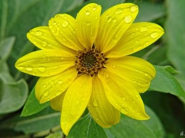 kleine Sonnenblume (Helianthus annuus)