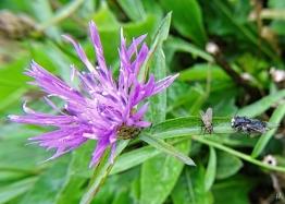 2020-09-26 LüchowSss Garten Wiesen-Flockenblume (Centaurea jacea) + nasse Insekten