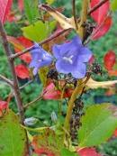 2020-09-28 LüchowSss Garten Pfirsichblättrige Glockenblume (Campanula persicifolia) + Schwarze Apfelbeere (Aronia melanocarpa)