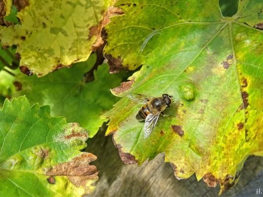 Weinblätter mit Keilfleck-Schwebfliege (Eristalis spec.)