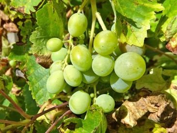 Weintrauben, schon saftig, aber noch sauer