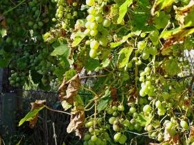Span. Weinreben (Vitis vinifera ssp. vinifera) Trauben
