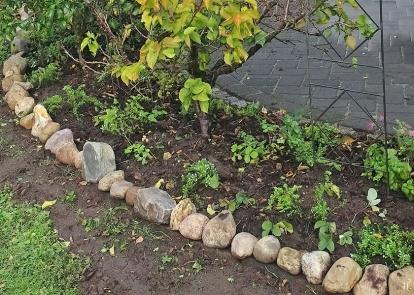 2019-10-08 LüchowSss Garten Teppich-Myrtenaster (Symphyotrichum ericoides bzw. Aster ericoides bzw. pansus) 'Snowflurry' im Beet