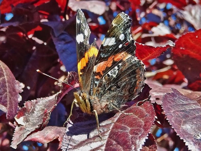 2020-09-29 LüchowSss Garten Admiral (Vanessa atalanta) + Blutpflaume (Prunus cerasifera) 'Nigra'