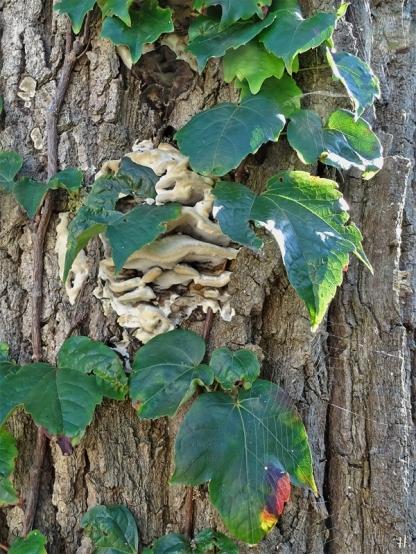 2020-09-29 LüchowSss Garten Eiche + Porlinge + Mauerkatze (Parthenocissus tricuspidata 'Veitchii')