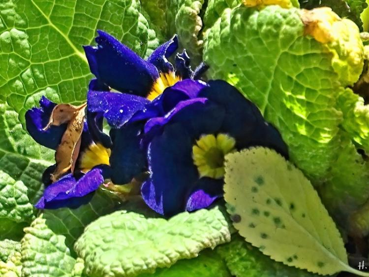 2020-09-29 LüchowSss Garten  blauviolette Gartenprimel (Primula vulgaris hybr.)