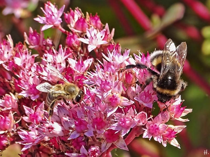 2020-09-29 LüchowSss Garten Hohe Rote Fetthenne (Sedum telephium-Hybride) 'Matrona' + Erdhummel (B. lucorum-terrestris-Komplex) + Honigbiene (Apis mellifera)