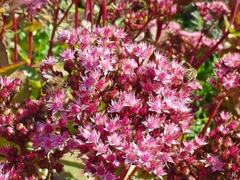 2020-09-29 LüchowSss Garten Hohe Rote Fetthenne (Sedum telephium-Hybride) 'Matrona' + Honigbienen (Apis mellifera)