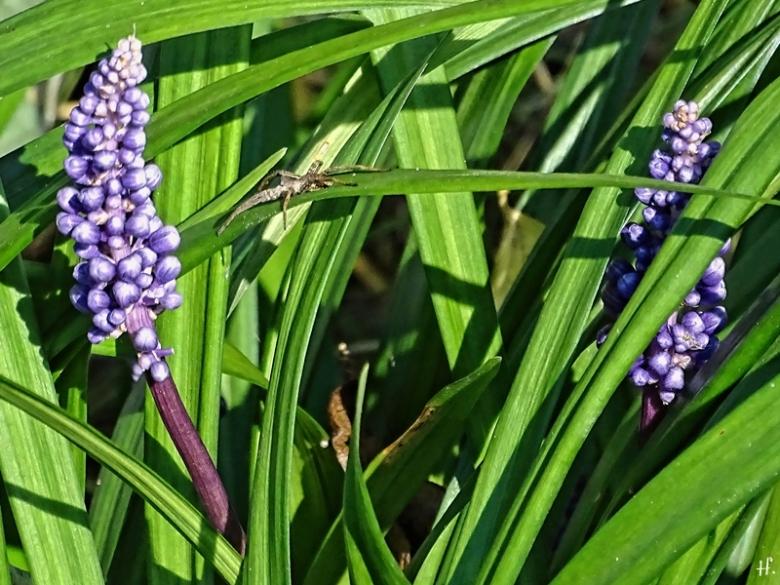 2020-09-29 LüchowSss Garten Lilientraube (Liriope muscari) + Spinne