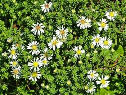 2020-09-29 LüchowSss Garten Teppich-Myrten-Aster (Aster ericoides) 'Snowflurry'