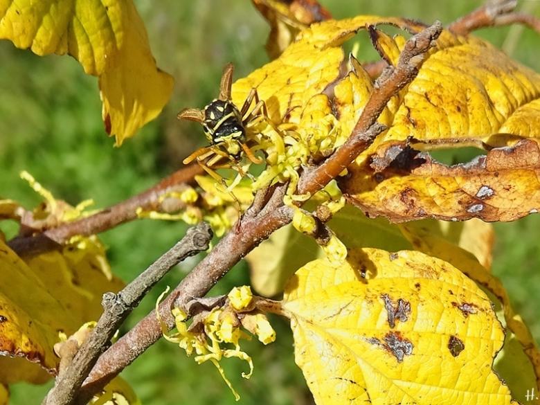 2020-09-29 LüchowSss Garten Virginische Zaubernuss (Hamamelis virginiana) + Gallische Feldwespe (Polistes dominula) vermutl. Jungkönigin