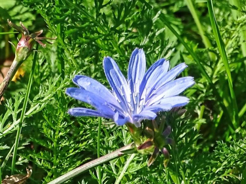 2020-09-29 LüchowSss Garten Wegwarte (Cichorium intybus)