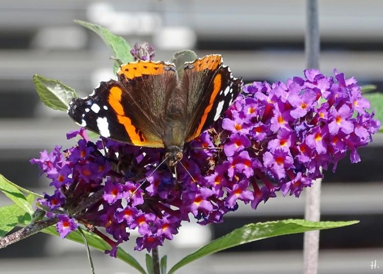 2020-10-01 LüchowSss Garten Admiral (Vanessa atalanta) + purpurf. Schmetterlingsflieder (Buddleja davidii)