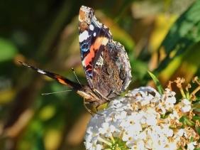 2020-10-01 LüchowSss Garten Admiral (Vanessa atalanta) + weisser Schmetterlingsflieder (Buddleja davidii)