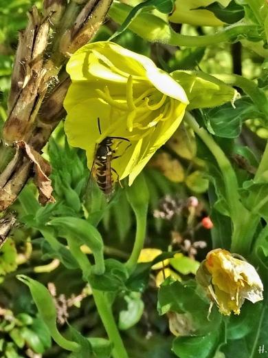 2020-10-01 LüchowSss Garten Gewöhnliche Nachtkerze (Oenothera biennis) + unbest. Kurzkopfwespe (Vespula spec.)
