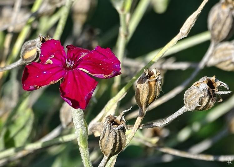 2020-10-01 LüchowSss Garten Kronenlichtnelke bzw. Vexiernelke (Lychnis coronaria)