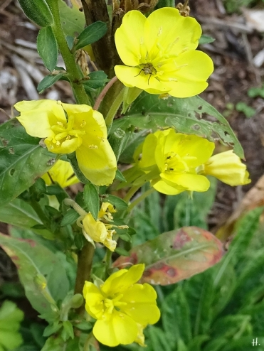 2020-10-04 LüchowSss Garten Gewöhnliche Nachtkerze (Oenothera biennis) + Fliege (1)