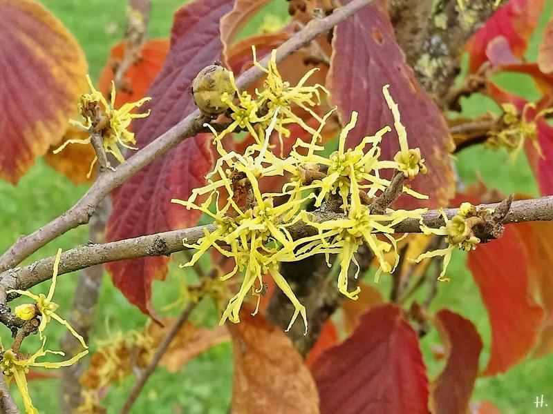 2020-10-06 LüchowSss Garten gelb - Herbstblühende bzw. Virginische Zaubernuss im Vordergrund (Hamamelis virginiana), rot - rotblühende Zuchtsorte (Hamamelis x intermedia)