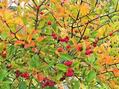 2020-10-06 LüchowSss Garten Hahnendorn bzw. Hahnensporn-Weissdorn (Crataegus crus-galli) (1)