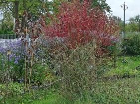 2020-10-06 LüchowSss Garten Wegwarte (Cichorium intybus) + Rotholz-Hartriegel (Cornus alba 'Sibirica' )