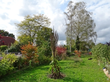 2020-10-06 LüchowSss Garten Wieseninseln Hahnendorn + Kandelaber-Königskerze + Rotholz-Hartriegel + Zaubernuss + Birken + Bongo (16)