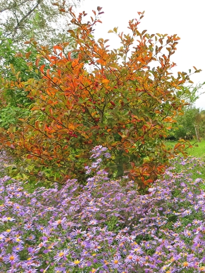 2020-10-07 LüchowSss Garten Nieselregenbilde Hahnensporn-Weissdorn (Crataegus crus-galli) + lila Neubelgische Glattbblattastern (Aster novi-belgii)