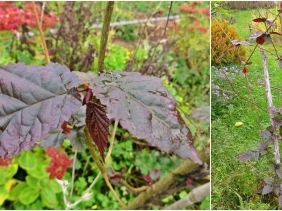 2020-10-07 LüchowSss Garten Nieselregenbilder - rote Lambertshasel (Corylus maxima 'Purpurea') od. Hybride (1x2)