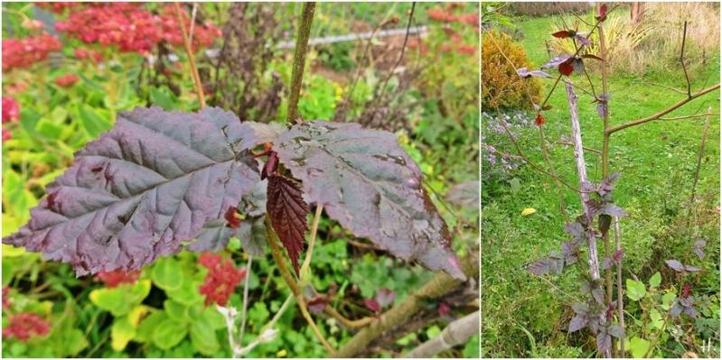 2020-10-07 LüchowSss Garten Nieselregenbilder - rote Lambertshasel (Corylus maxima 'Purpurea') od. Hybride mit Gemeiner Hasel (1x2)