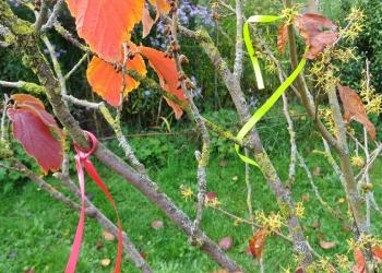 2020-10-09 LüchowSss Garten gelb - Herbstblühende bzw. Virginische Zaubernuss im Vordergrund (Hamamelis virginiana), rot - winter- u. rotblühende Zuchtsorte (Hamamelis x intermedia)