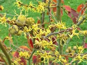 2020-10-09 LüchowSss Garten gelb - Herbstblühende bzw. Virginische Zaubernuss im Vordergrund (Hamamelis virginiana), rot - Zuchtsorte (Hamamelis x intermedia)