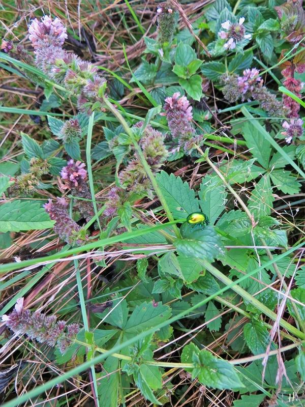 2020-10-09 LüchowSss Garten Minzeblattkäfer (Chrysolina herbacea) auf blühender Grüner Minze (Mentha spicata) (1)