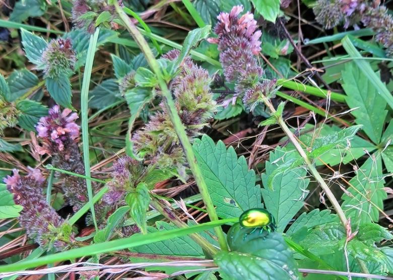 2020-10-09 LüchowSss Garten Minzeblattkäfer (Chrysolina herbacea) auf blühender Grüner Minze (Mentha spicata) (2)