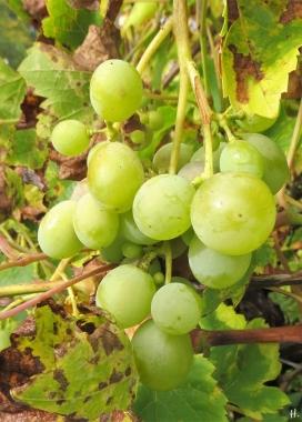Garten Weintrauben (Vitis vinifera ssp. vinifera) Span. Rebsorte