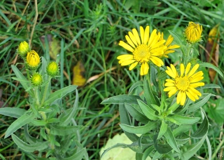 2020-10-09 LüchowSss Zitronengelbe falsche Goldaster bzw. Goldauge (Heterotheca camporum)