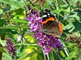 2020-10-10 LüchowSss Garten Admiral (Vanessa atalanta) + Schmetterlingsflieder (Buddleja davidii)