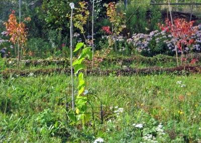 2020-10-10 LüchowSss Garten frisch gepflanzte Rote Maulbeere (Morus rubra) 'Rote Pfälzer'(1)