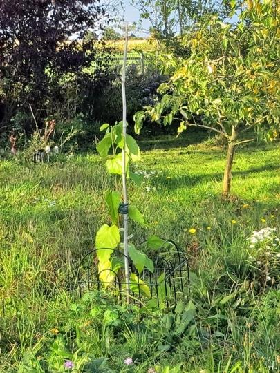 2020-10-10 LüchowSss Garten frisch gepflanzte Rote Maulbeere (Morus rubra) 'Rote Pfälzer'(4)