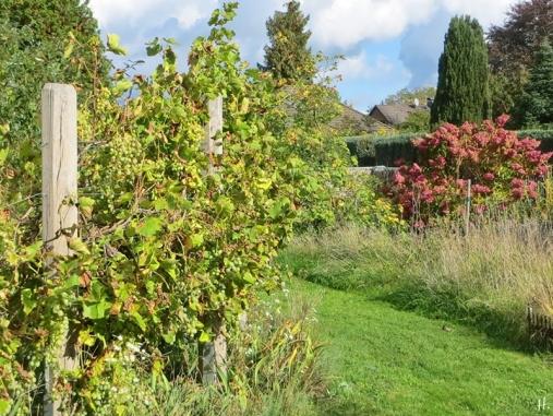 2020-10-10 LüchowSss Garten Wein (Span. Rebsorte) + Rispenhortensie 'Vanille-Fraise'