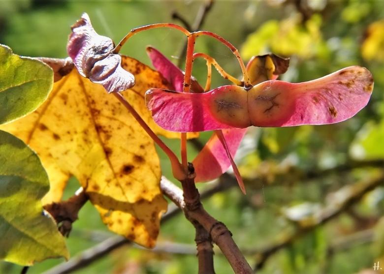 2020-10-11 LüchowSss Feldahorn (Acer campestre) 'Nashörnchen'-Flügelsamen