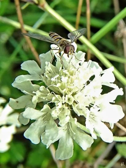 2020-10-11 LüchowSss Garten Gelb-Skabiose (Scabiosa ochroleuca) + Hain-Schwebfliege (Episyrphus balteatus) (2)